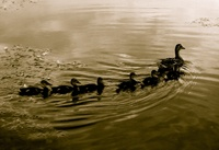 Nikki Rivas - Mother duck with her ducklings, swimming in a pond