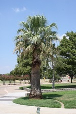 photo of palm tree in August 2015